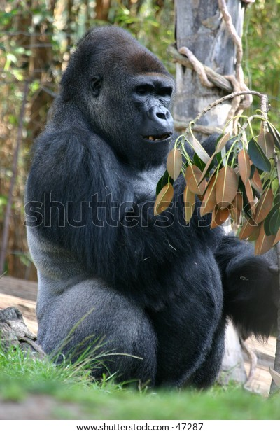 Gorilla during meal time