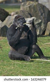 Gorilla eat stick