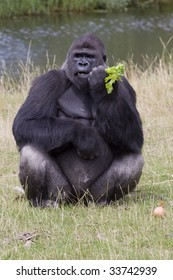 Gorilla eating its afternoon snack at the zoo