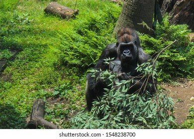 A gorilla eating the leaves of a branch