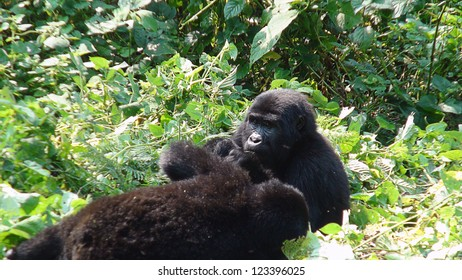 Gorilla eating the leaves in the forest of Uganda