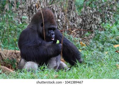 gorilla eating time