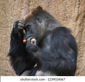 Gorilla eats carrots and holds stock in hand.