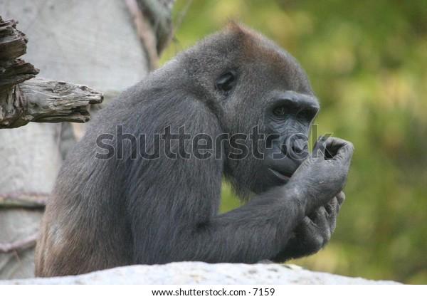 gorilla enjoying the day