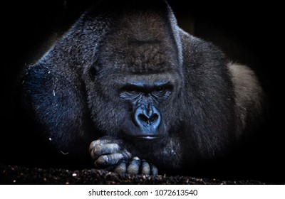 Gorilla with fixed gaze to the photographer, serious and challenging look. Wild life, Africa.