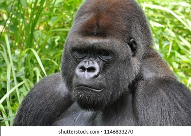 Gorilla from Florida