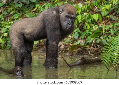 Gorilla in Gabon Endangered eastern gorilla in the beauty of african jungle  (Gorilla gorilla)