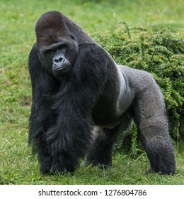 Gorilla in green grass