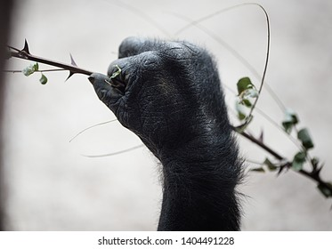 Gorilla hand is holding a branch and he nibbles on it.