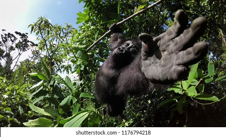 gorilla hanging wit trees trees in background