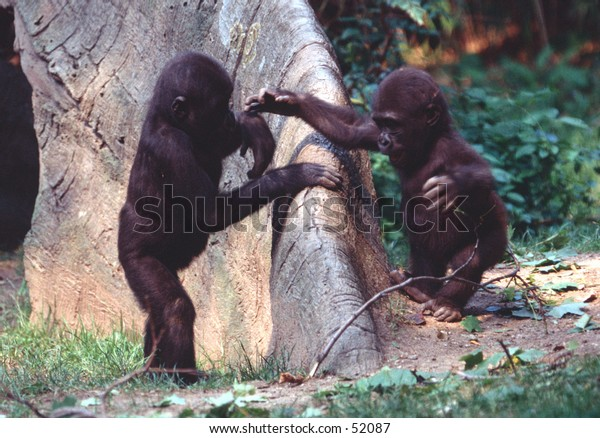 Gorilla kids playing