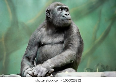 Gorilla. Gorilla is the largest representative of the family of monkeys. Since they are vegetarians, they eat mostly leaves, young shoots, and sometimes fruits. Gorillas-endangered species.