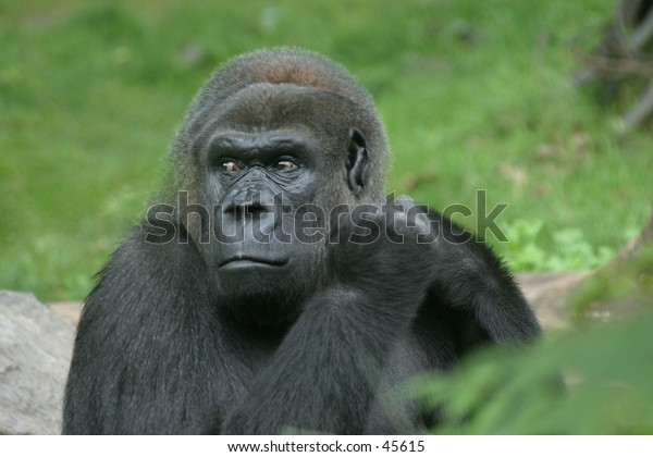 Gorilla looking angry