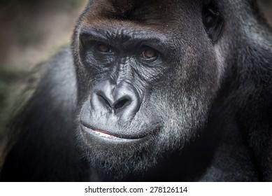 Gorilla looking at the camera