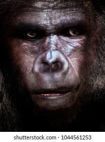 Gorilla looking intelligent