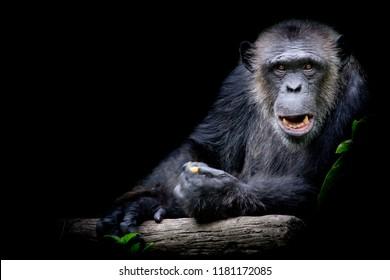 Gorilla looking straight at camera.
