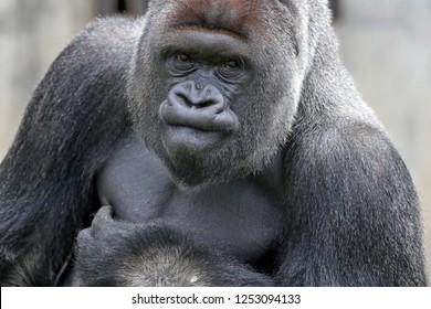 Gorilla, (Gorilla gorilla, gorilla), male, silverback, captive