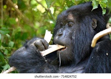 A gorilla member of the Amahoro family finds time to eat bamboo in the volcanic mountains of Rwanda. 11Volcanoes National Mountains