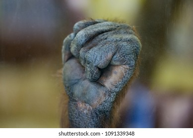 Gorilla monkey ape fist palm close-up fingers touching glass in zoo