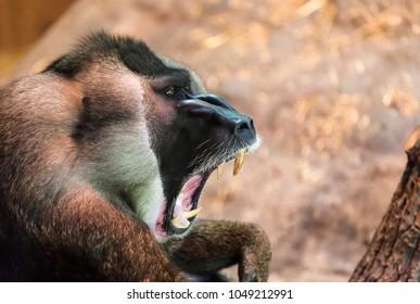 Gorilla monkey yawning