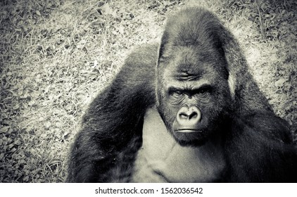 Gorilla in one of the zoo