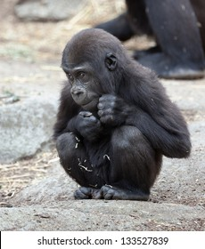 gorilla photographed in Australian zoo.