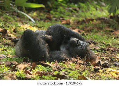 Gorilla playing / Gorilla