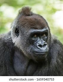 Gorilla portrait in the zoo
