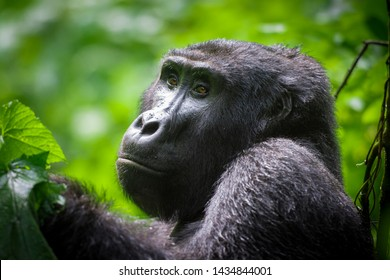 Gorilla resting in the forest