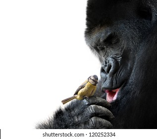 Gorilla showing family love to a bird, on white background