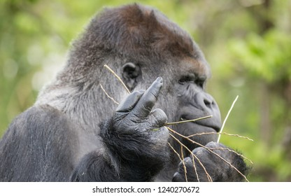 Gorilla shows the middle finger