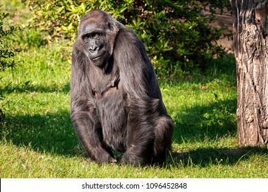 Gorilla sit on grass and looking for something interesting