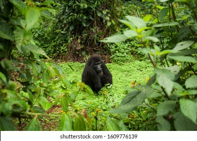 A gorilla sits relaxed in the middle of the green forest