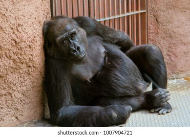 gorilla sitting and looking at the camera