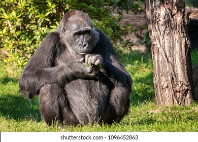 Gorilla sitting on the grass and eating
