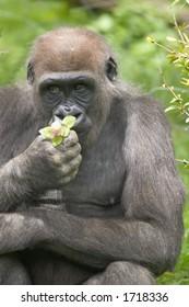 Gorilla smelling flower