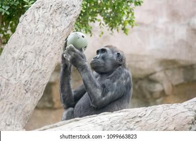 Gorilla studying a green ball