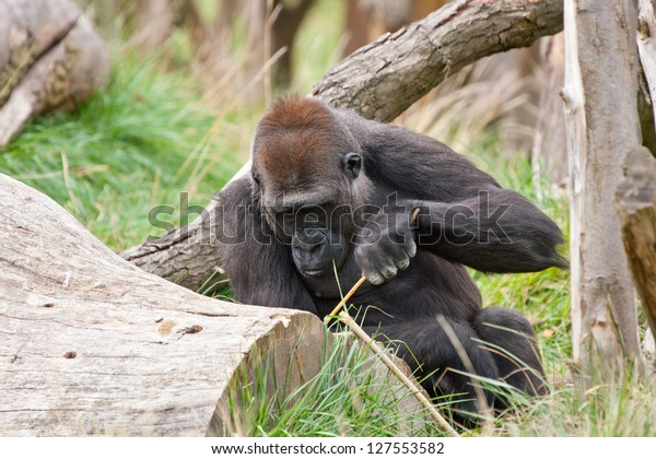 gorilla using branch as a tool
