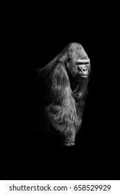 gorilla walking out of the dark and into the light, africa wildlife wallpaper