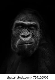 Gorilla gorilla, The western gorilla