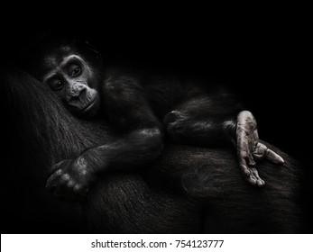 Gorilla gorilla, The western gorilla, baby gorilla