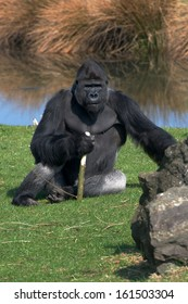 Gorilla whit stick