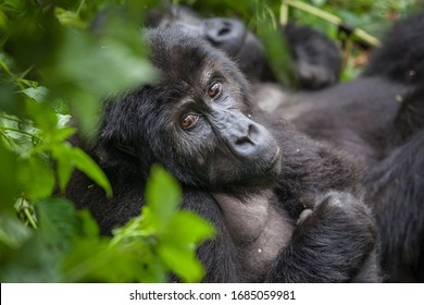 Gorilla in wilderness national park Democratic Republic of Congo green forest