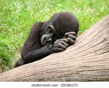 Gorilla youngster dreaming on a tree branch