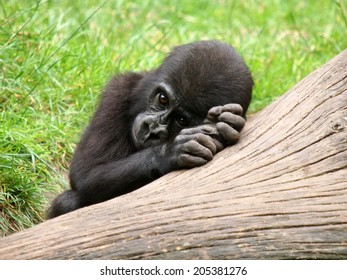 Gorilla youngster dreaming on a treeb ranch