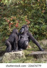 Gorilla youngstesr are having fun