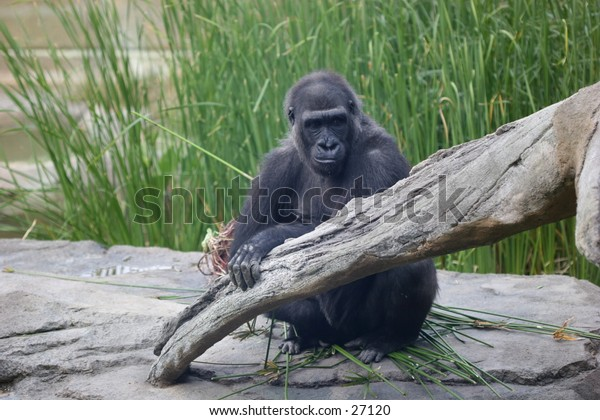 Gorilla in a zoo sitting next to a tree branch