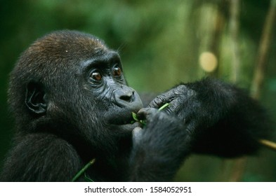 Gorillas are ground-dwelling, predominantly herbivorous apes that inhabit the forests of central Sub-Saharan Africa. The genus Gorilla is divided into two species the eastern gorillas and the western
