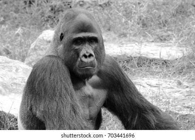 Gorillas  the largest extant genus of primates, that inhabit the forests of central Africa. B&W