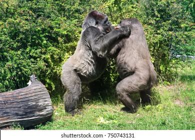 gorillaz in fight.